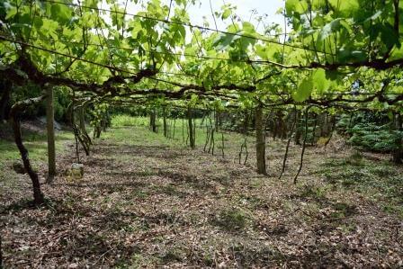 Albarino Wine vineyard