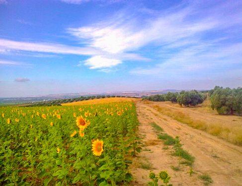Sun flowers Camino Mozarabe 1