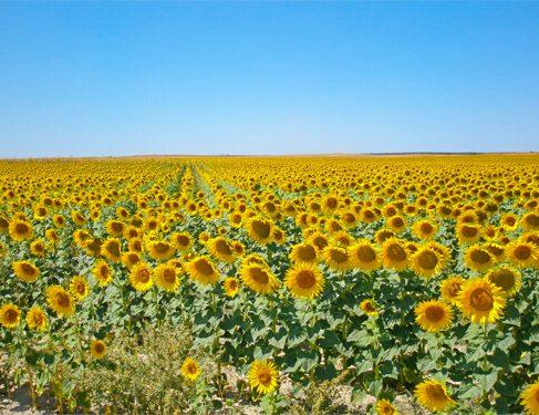Sunflower on Camino Mozarabe 6