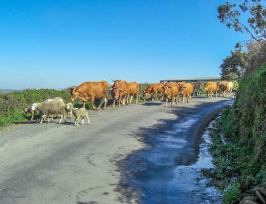 Farm animals walking on Camino Primitivo 2