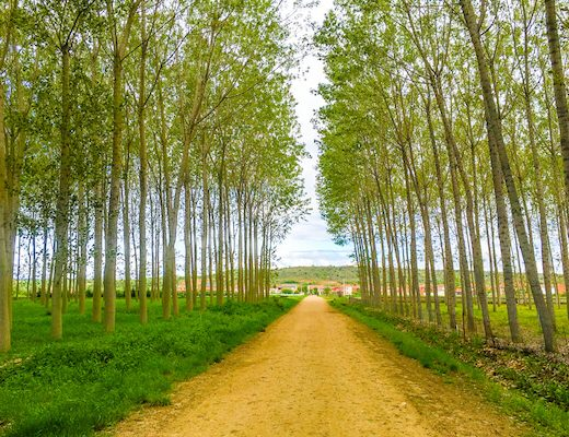 The Whole Camino Frances - yellow pathway through woodlands