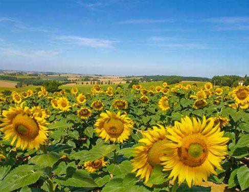 Via Podiensis 5 - Sunflowers farm