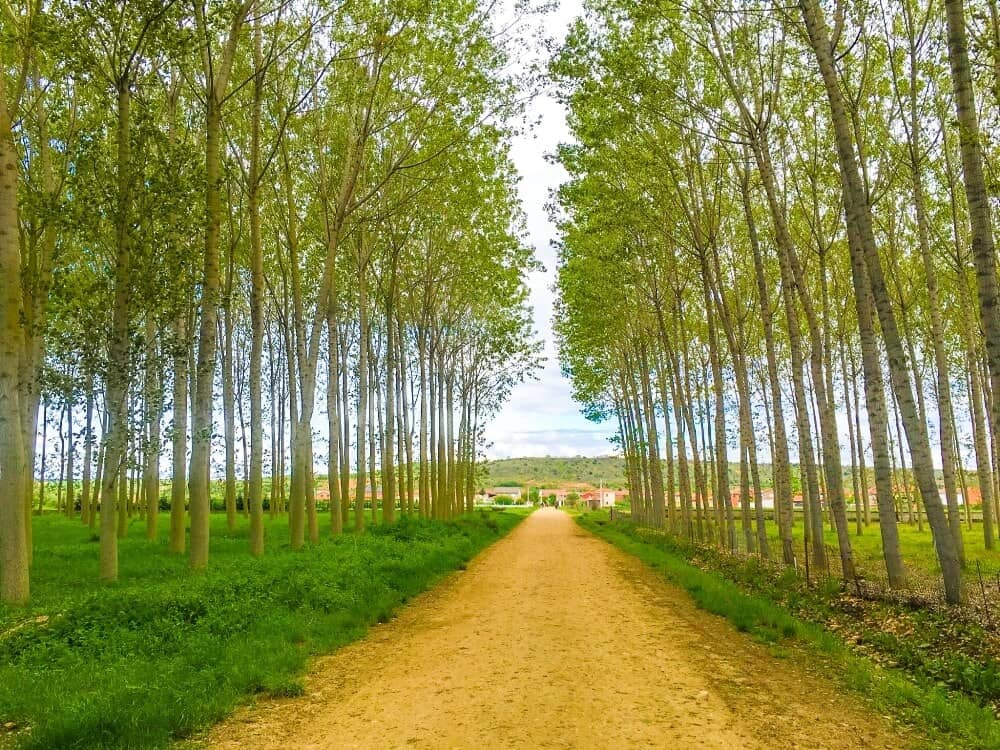 a tree lined path on the french way of the Camino