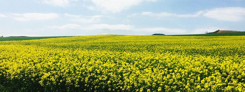 field on the camino near Pamplona