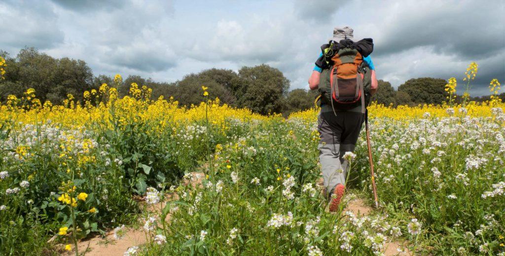 man walking the camino thorugh yellow flowers
