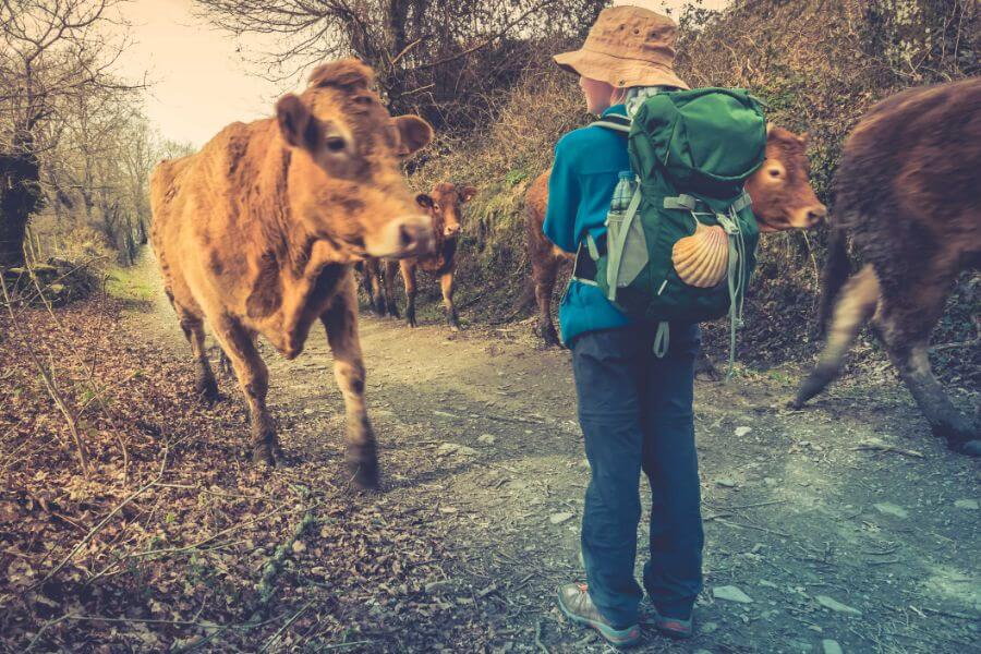 Max's daughter, Annika, meeting cows on the camino - aged 10